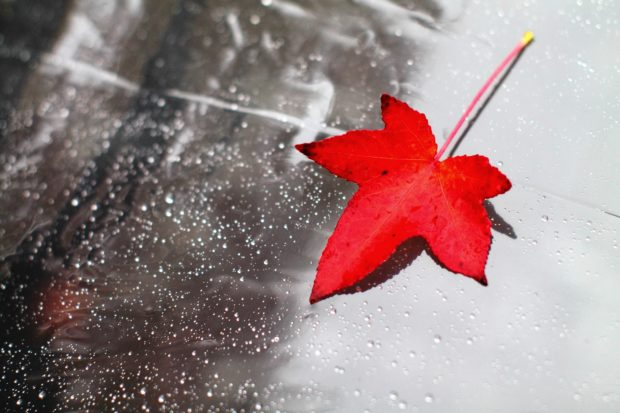A vibrant red autumn leaf against a dewy background.