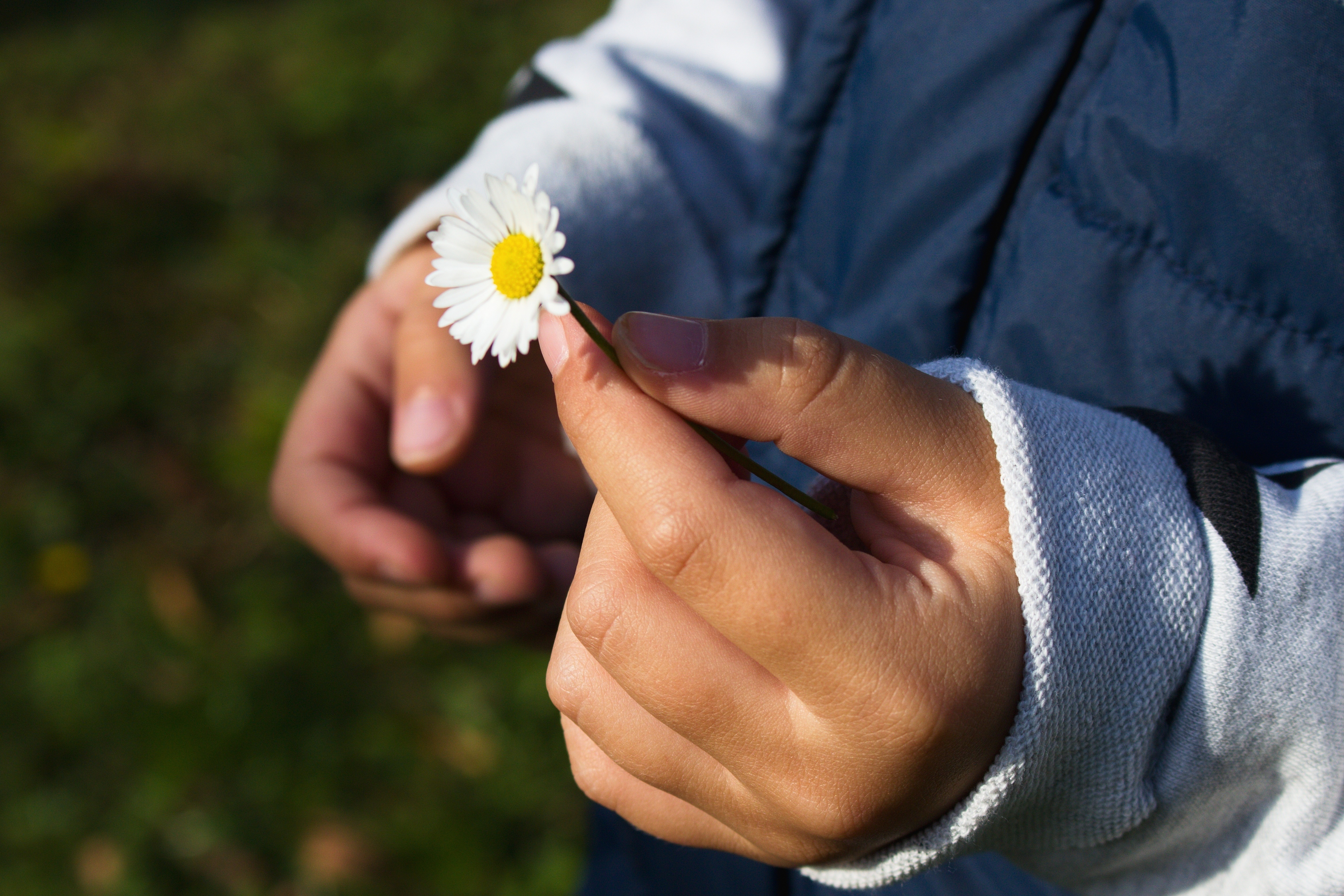 Closeup of a pair of hands, one holds a daisy by the stem.