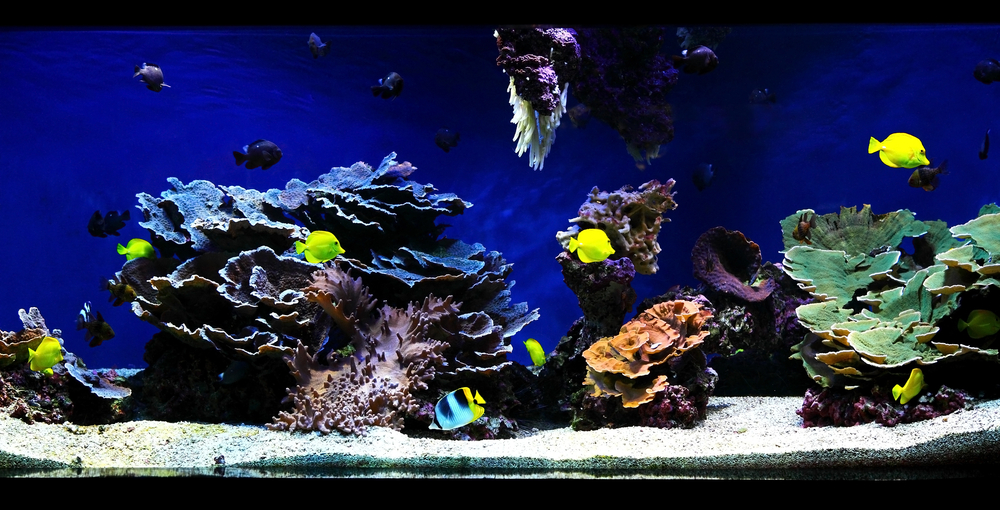 Tropical fish swim about inside an aquarium. Most are yellow and one is blue, black, and yellow. The water is very blue. Corals range from blue, purple, orange green, and white. There is light sand and gravel at the bottom.