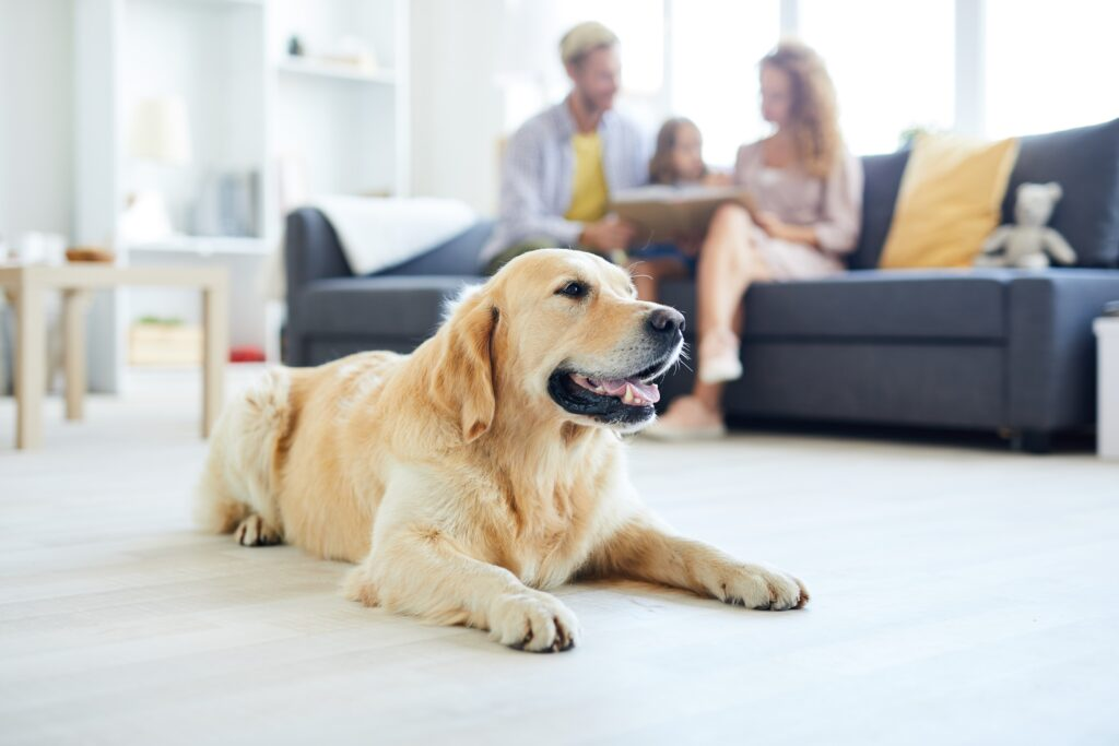 Restful home pet lying on the floor of living-room on background of family relaxing on sofa
